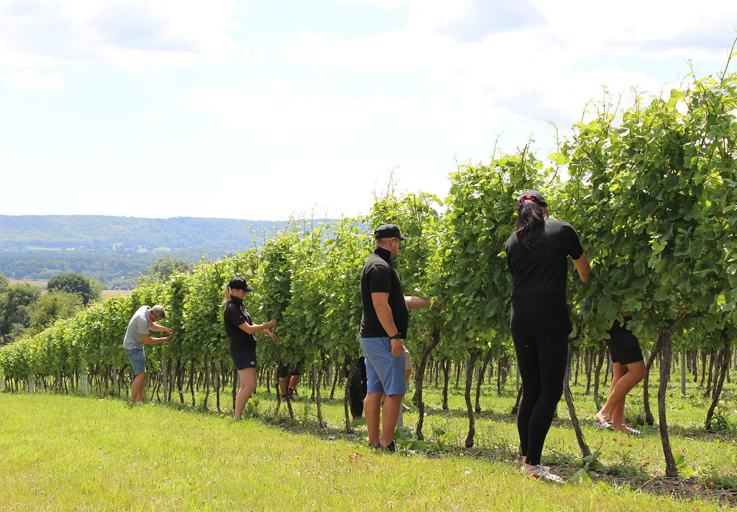 Feature_Summer_in_the_Vineyard